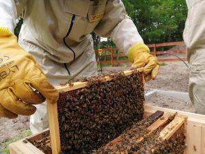 Pszczoły zamieszkały w Pasiece Edukacyjnej na terenie pilskiego UAM